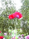 Two Extra Tall Red Papaver Somniferum Poppy Flowers!