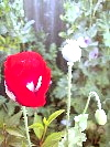 Danish Flag Papaver Somniferum Poppy Flowers With Seed Pod And Bud!