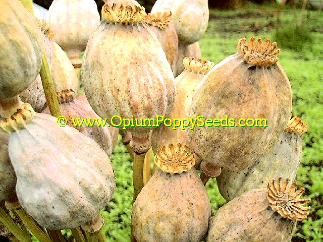 Group Of Dried Papaver Somniferum Giganthemum Poppy Seed Pods With Closed Vents Retaining All The Seeds!