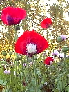 Mixed Black And White Eyed Red Papaver Somniferum Flowers!