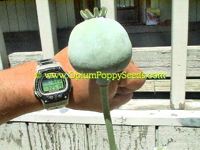 Almost Baseball Sized Papaver Somniferum Poppy Seed Pod Is Huge!