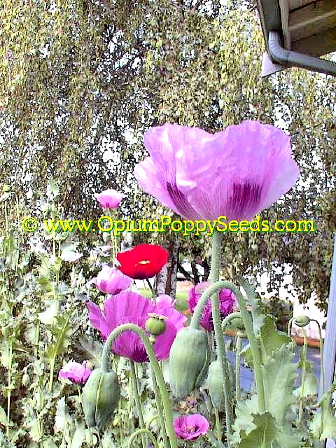 A Group Of Lavender Opium Poppy Flowers At Eye Level!