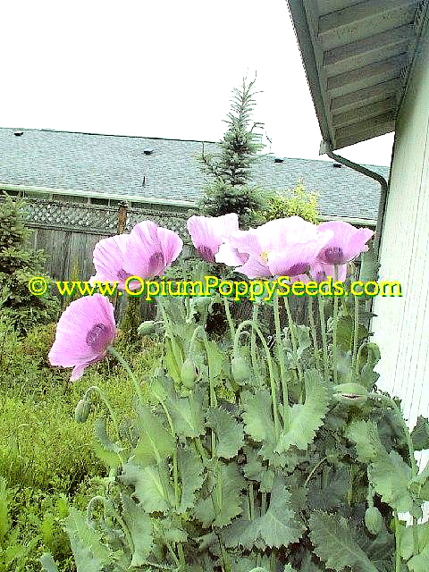 Group Of Lavender Papaver Somniferum Poppy Flowers And Buds!