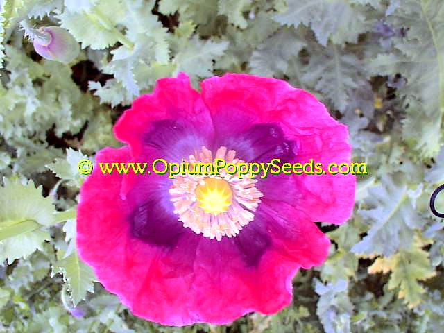 Single Hot Pink Papaver Somniferum Poppy Flower From Above!