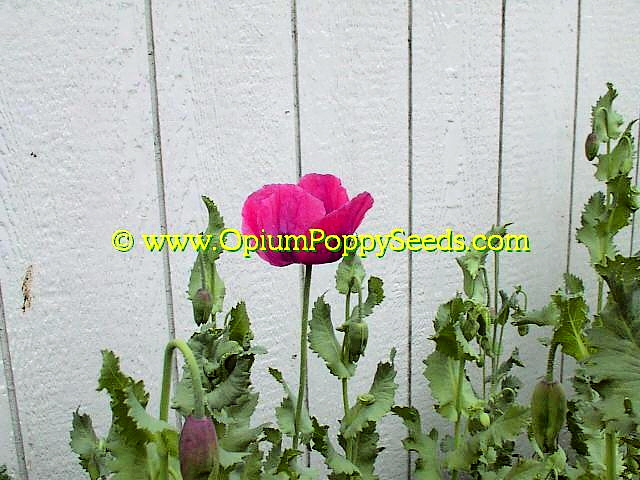 These Pink Papaver Somniferum Poppy Flowers And buds In A Line Up!