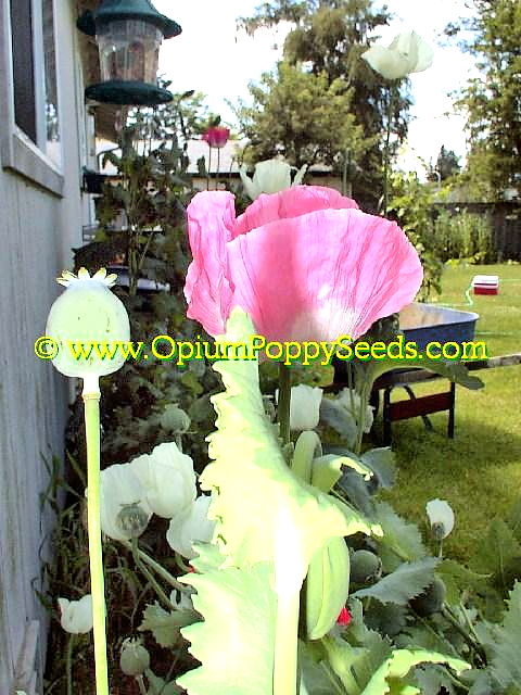 Pink Papaver Somniferum Poppy Seed Pod And Bloom!