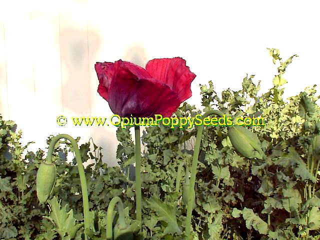 Sun Rising To Shadow Pink Papaver Somniferum Poppy Flower And buds Against Backdrop!