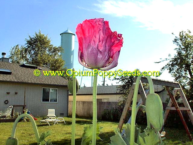 Single Pink Papaver Somniferum Poppy Flower Towers Over The Rest