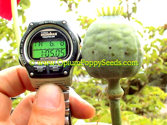 Papaver Somniferum Pod Size Is Bigger Than The Watch Face!