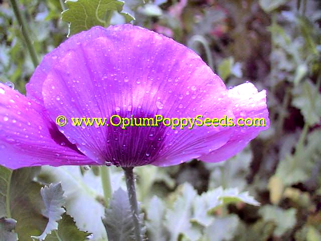 Gorgeous Lavender Papaver Somniferum Poppy Flower After a Shower!