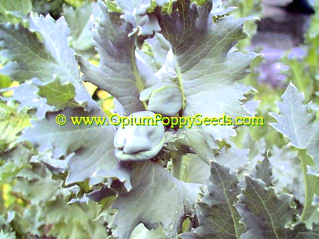 Papaver Somniferum Flower Buds Look Almost Unworldly!