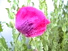 Soon To Unfurl Hot Pink Papaver Somniferum Still Coated With Morning Dew!