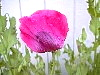 This Is The Other Side Of The Previous Hot Pink Opium Poppy Flower!