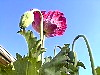 Hot Pink Papaver Somniferum Flower And Closed Bud Looking To The Heavens!