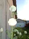 A Group Of China White Papaver Somniferum Poppy Flowers One Morning!