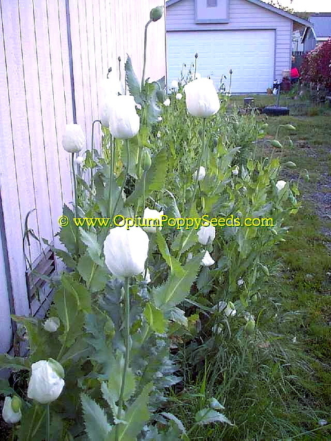 China White Papaver Somniferum Poppy Flowers In A Row!