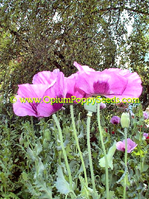 Stout Group Of Lavender Papaver Somniferum Poppy Flowers Standing Tall!
