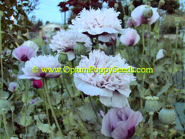 how to get poppy seeds to grow