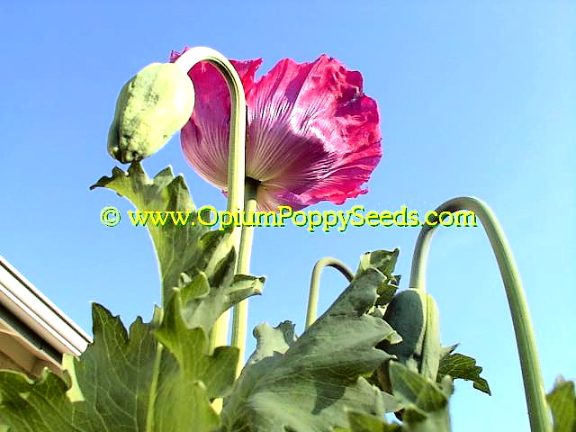 Opiumpoppyseeds the best internet site to buy or learn to grow pink poppy flower and bud in front of blue sky mightylinksfo