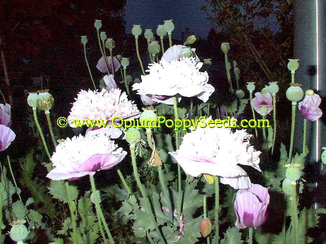Lavender Peony Papaver Somniferum Queens With Night Flash!